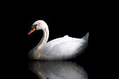 Low key white swan with reflection in the water on black background.