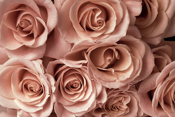 """Low Light Bouquet """"Bouquet of roses in sepia, low light. Background roses."""" desaturated stock pictures, royalty-free photos & images"""