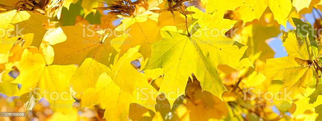 Low sharpening, yellow colored ahorn leaves.  royalty-free stock photo