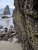 Low tide, at Canon Beach in Oregon, reveals rocks covered in barnacles.
