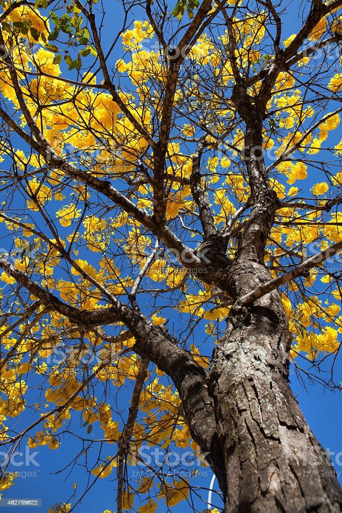 Ângulo baixo foto de uma árvore do Ipê Amarelo, Amarelo - foto de acervo