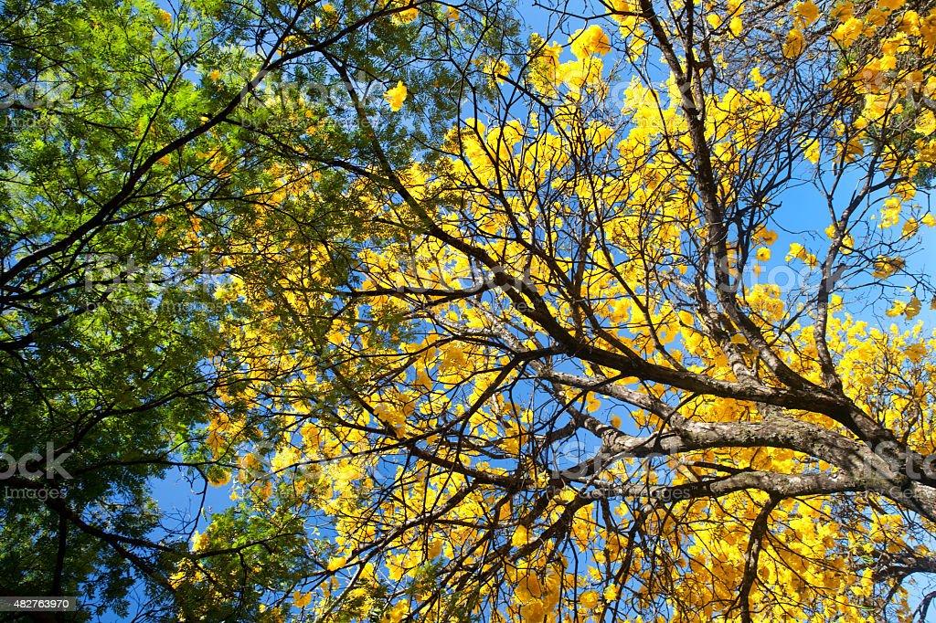 Ângulo baixo foto de uma árvore do Ipê Amarelo, Amarelo foto royalty-free