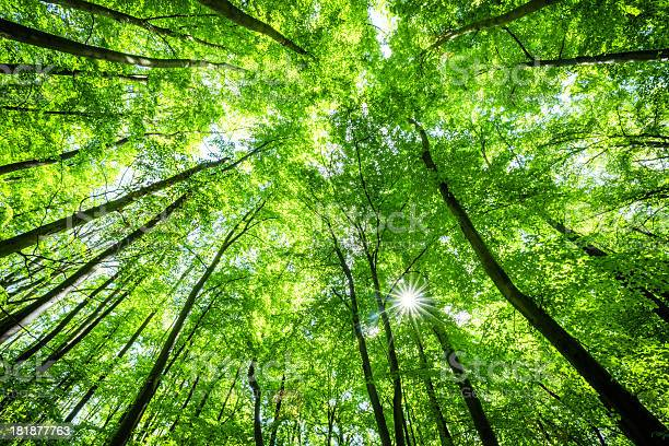 Photo of Low-angle shot of beech tree forest