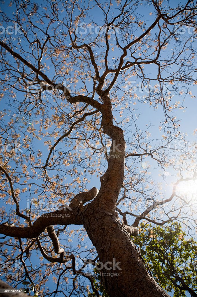 Baixa-angular de Savannah Cerrado árvore brasileiro foto royalty-free