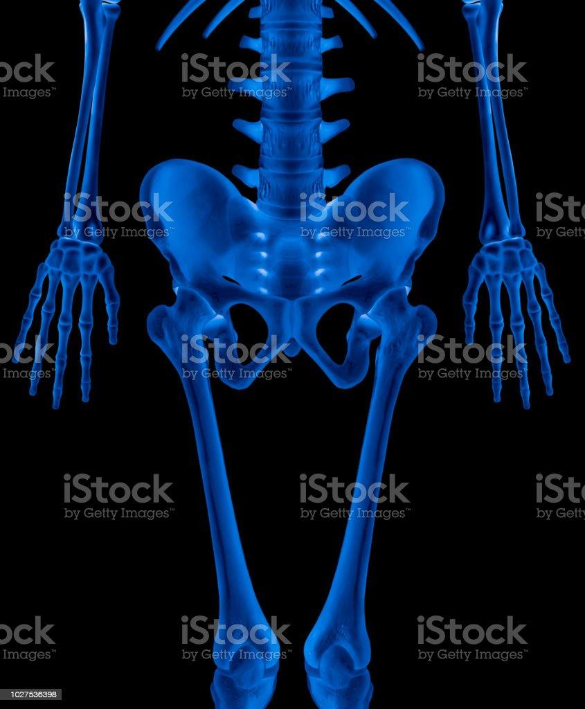 Fotografía de Menor Longitud Mitad Humano Esqueleto Frontal Vista X ...