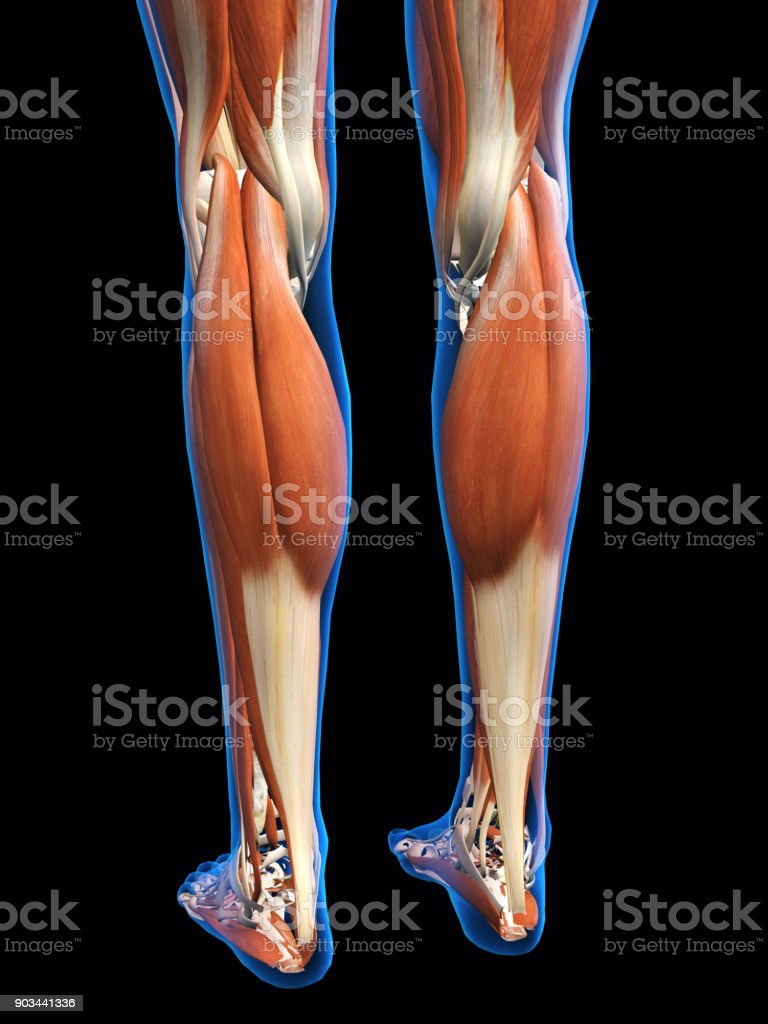 Lower Leg Muscles Posterior on Black stock photo
