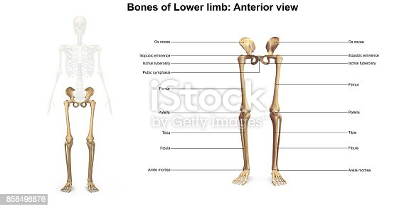 istock Lower Limbs Anterior view 858498876