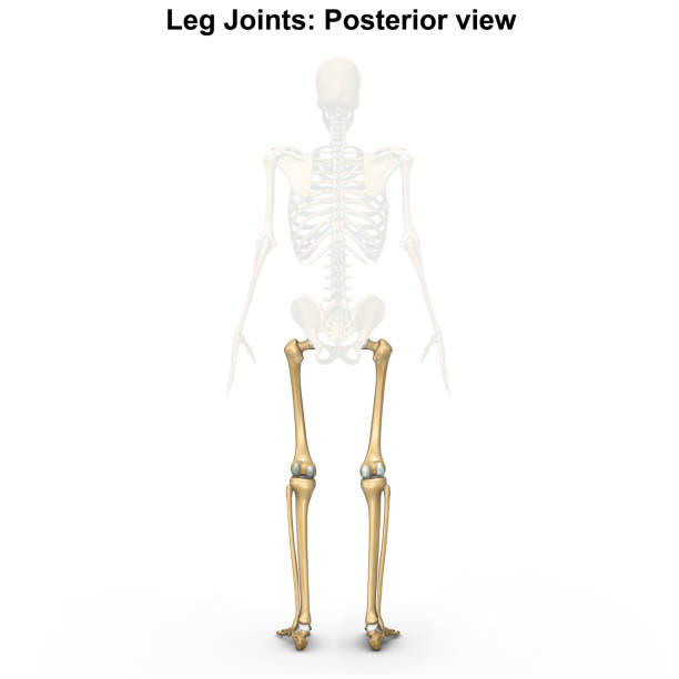 Royalty Free Lateral Knee Anatomy Pictures Images And Stock Photos