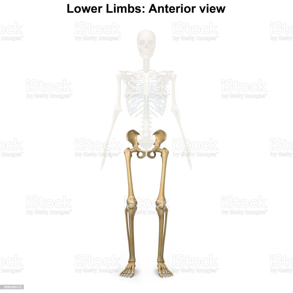 Ziemlich Oberen Gliedmaßen Anatomie Fotos - Anatomie Ideen - finotti ...