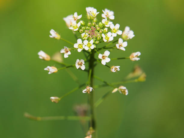 lower of Shepherd's purse, Capsella bursa-pastoris lower of Shepherd's purse close-up on a meadow, Capsella bursa-pastoris shepherd's purse stock pictures, royalty-free photos & images