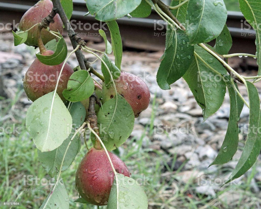 Low-hanging fruit stock photo