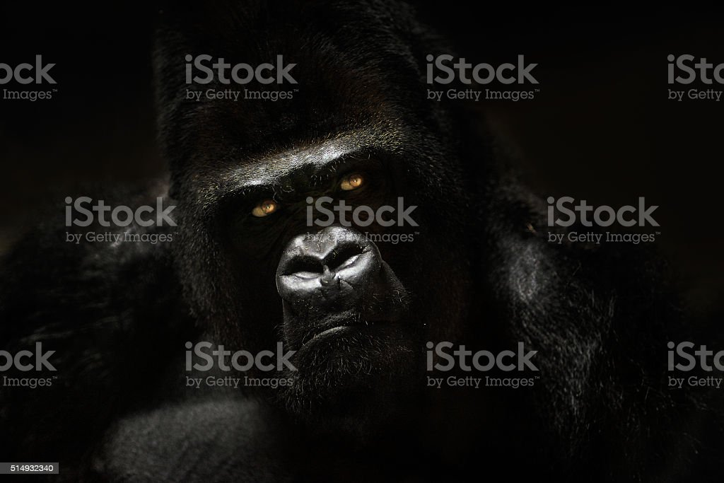 Low-key portrait of gorilla in captivity stock photo