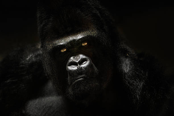baja clave retrato de gorila en cautiverio - gorila fotografías e imágenes de stock