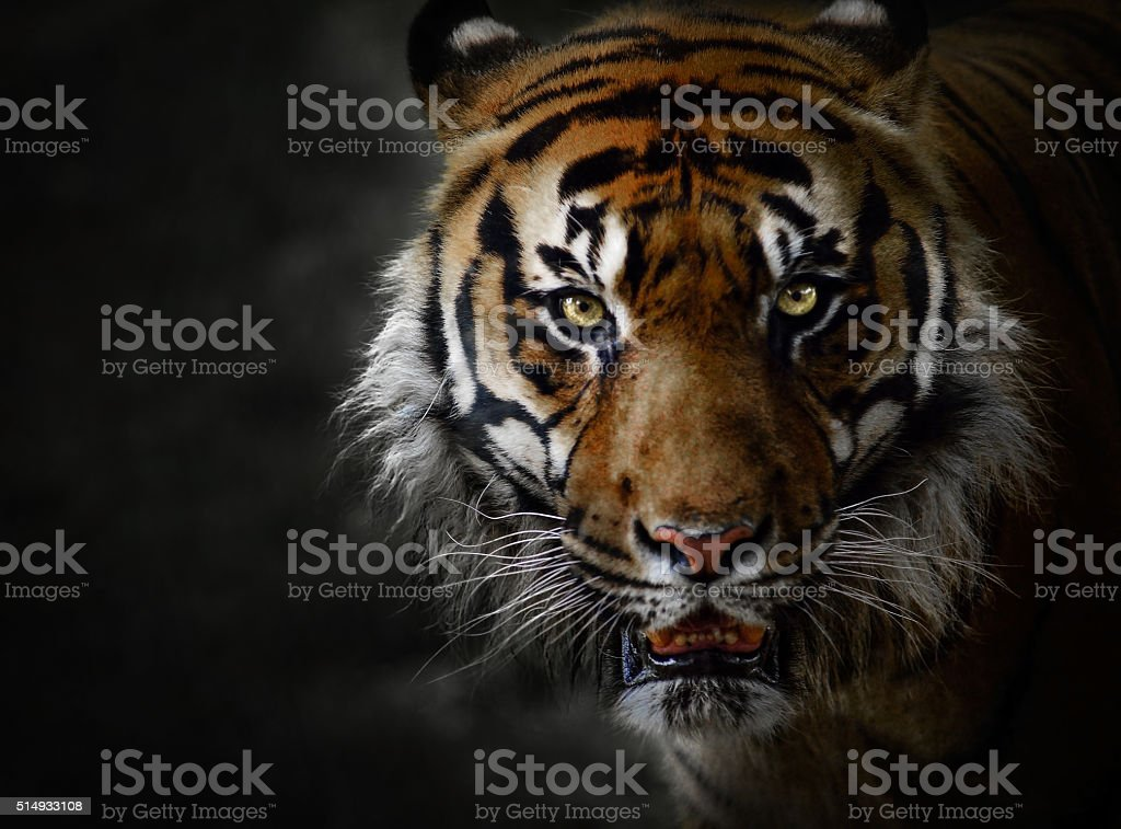 Low-key portrait of tiger in captivity stock photo
