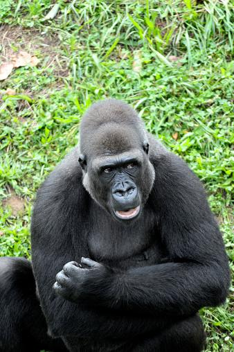 Lowland Gorilla.