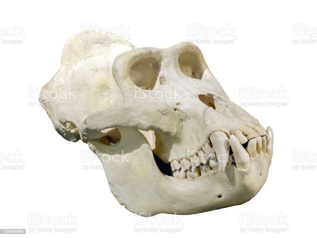 Lowland Gorilla Stock Photo & More Pictures of Anatomy | iStock