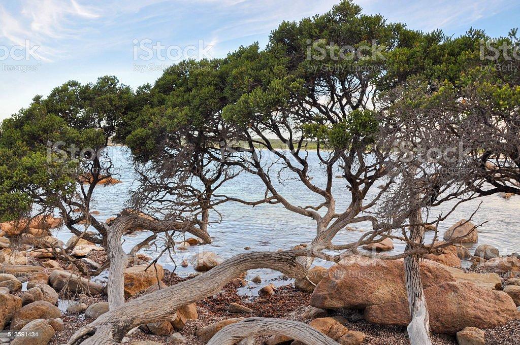 Low-lying Coastal Tree at Bunker Bay stock photo