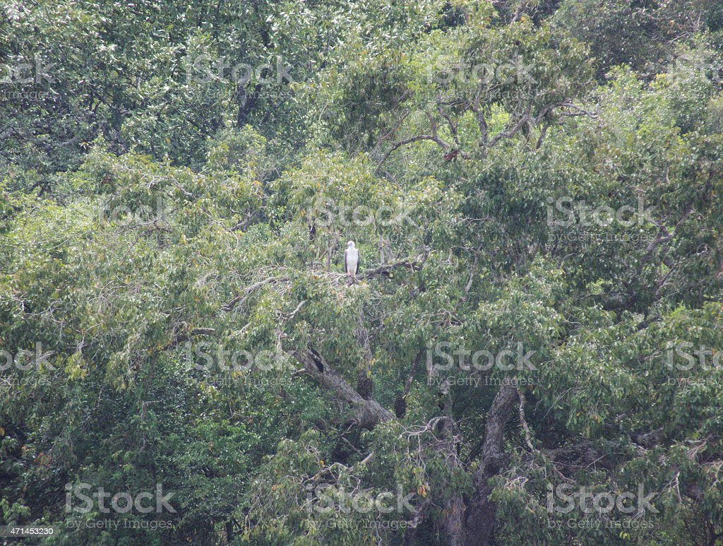 Low-lying Tropical Forest Cover in Sunshine with Sea-Eagle stock photo