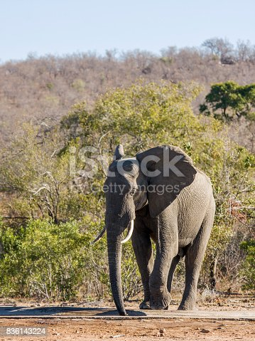istock loxodonta africana, african bush elepant drinking in the riverbank in Kruger Park 836143224