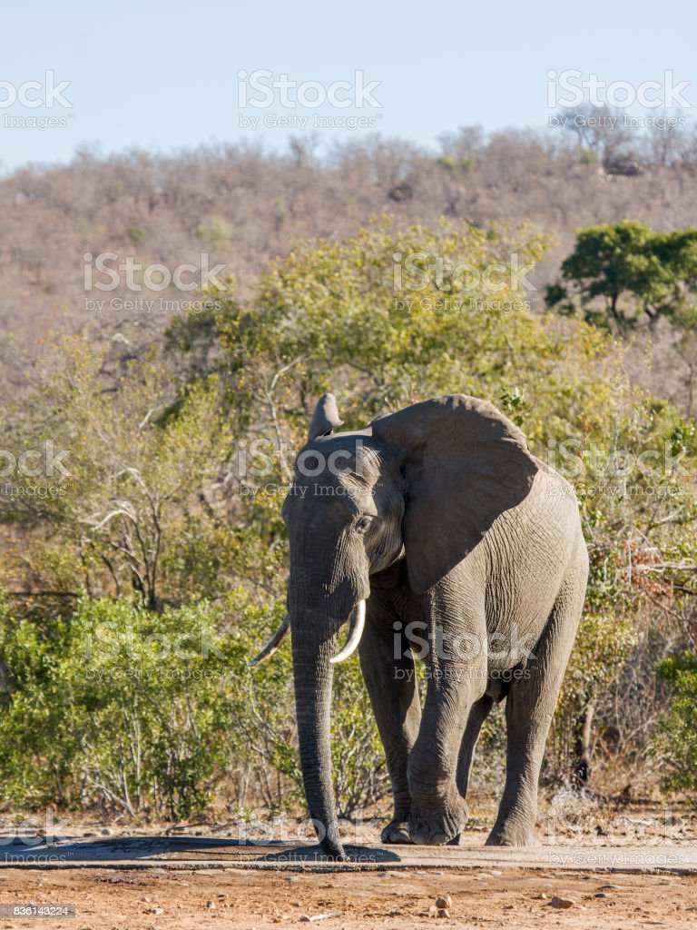 loxodonta africana, african bush elepant drinking in the riverbank in Kruger Park stock photo