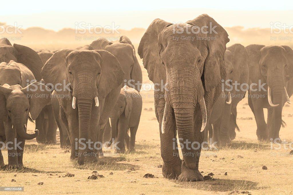 Loxodonta africana, afrikanischer bush elephant. Lizenzfreies stock-foto