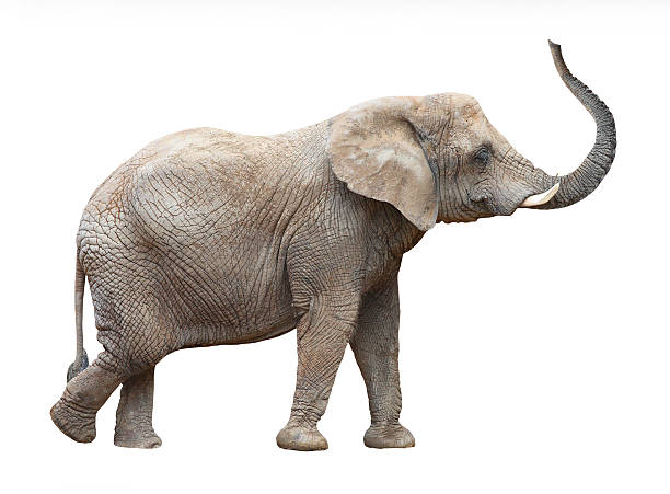 Loxodonta Africana or African Elephant on white blackground African elephant (Loxodonta africana) female on white background.  animal trunk stock pictures, royalty-free photos & images