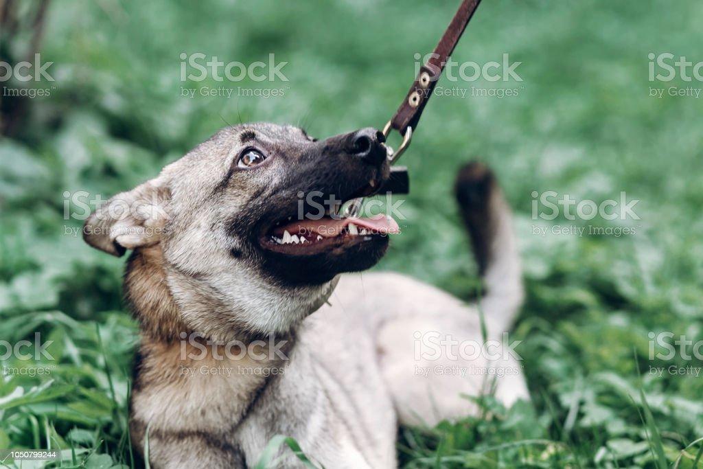 Treuer Hund Auf Der Suche Nach Besitzer Niedlichen Welpen Porträt Gesicht Nahaufnahme Grauer Hund Liegen In Der Wiese Im Freien Hund Tierheim Konzept