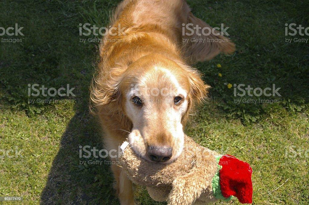 Loyal Dog royalty-free stock photo