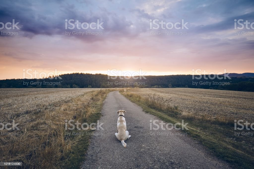 Loyal dog waiting at sunset stock photo