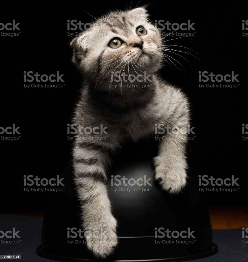 lscottish fold cat on black background stock photo
