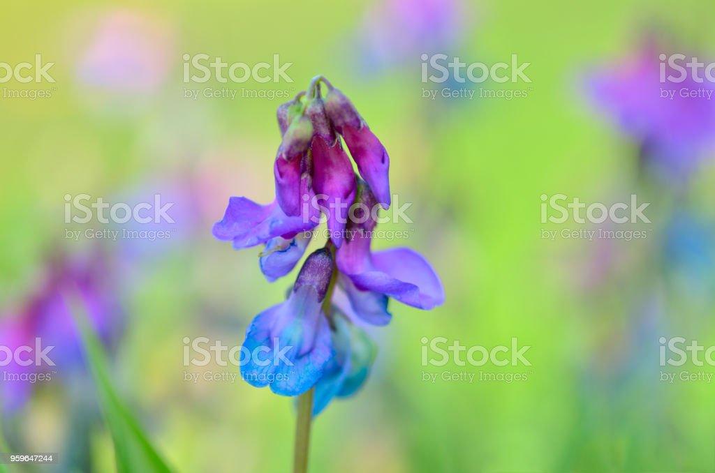Láthyrus vérnus-herbácea. - Foto de stock de Abstracto libre de derechos