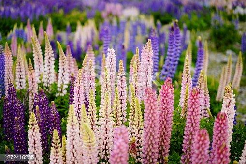 Lupine.New Zealand