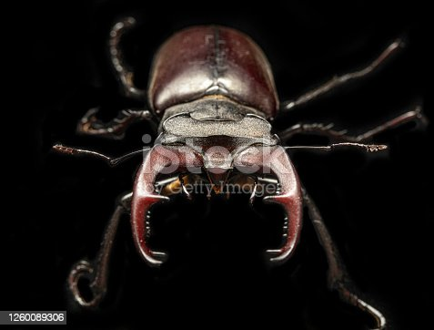 Lucanus cervus insect is listed in the Red Book. Macro on a blsck background