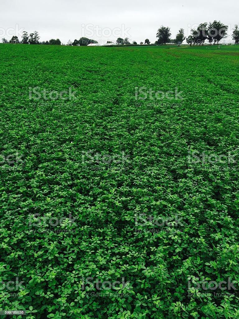 Lucerne Field - Alfalfa stock photo