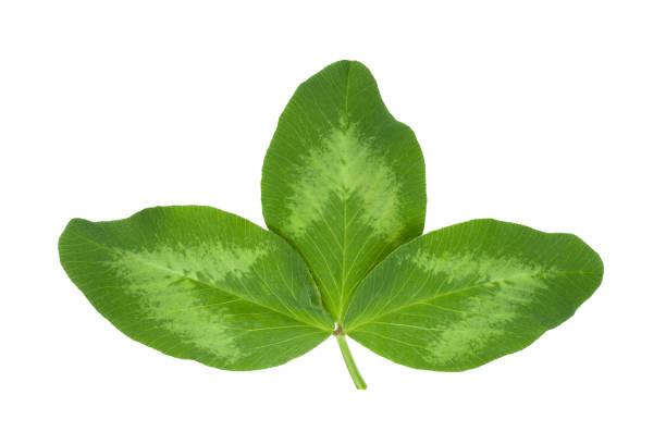 lucerne plant leaf - erba medica foto e immagini stock