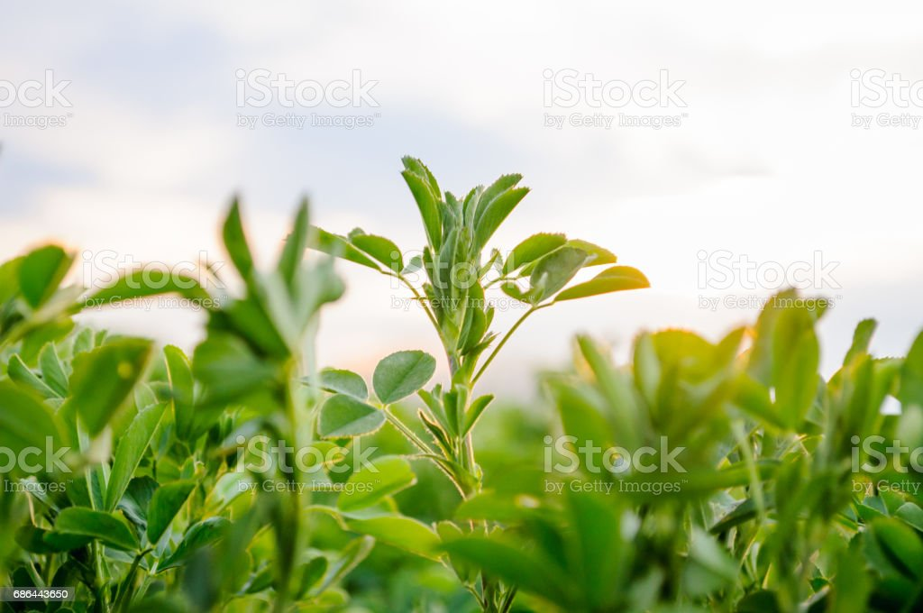 Lucerne (Medicago sativa) small plants in early spring stock photo