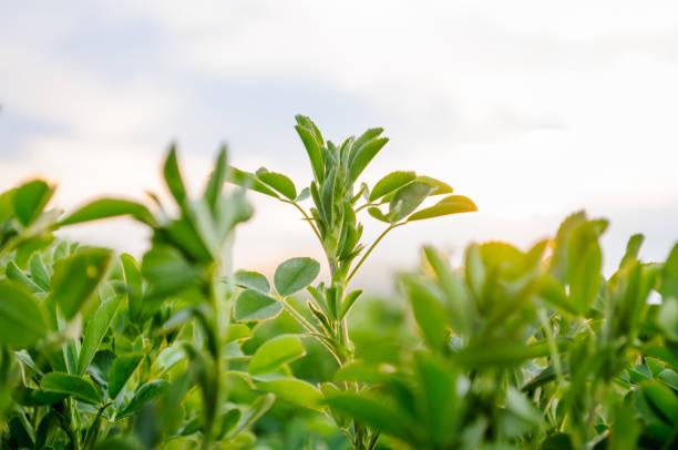 lucerne (medicago sativa) small plants in early spring - erba medica foto e immagini stock