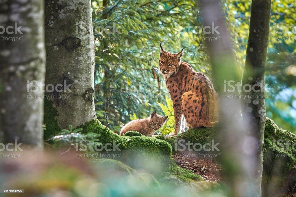 Luchsmutter Mit Baby – Foto