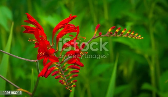 A bright red Lucifer Crocosmia grows in a Cape Cod garden on a July afternoon.