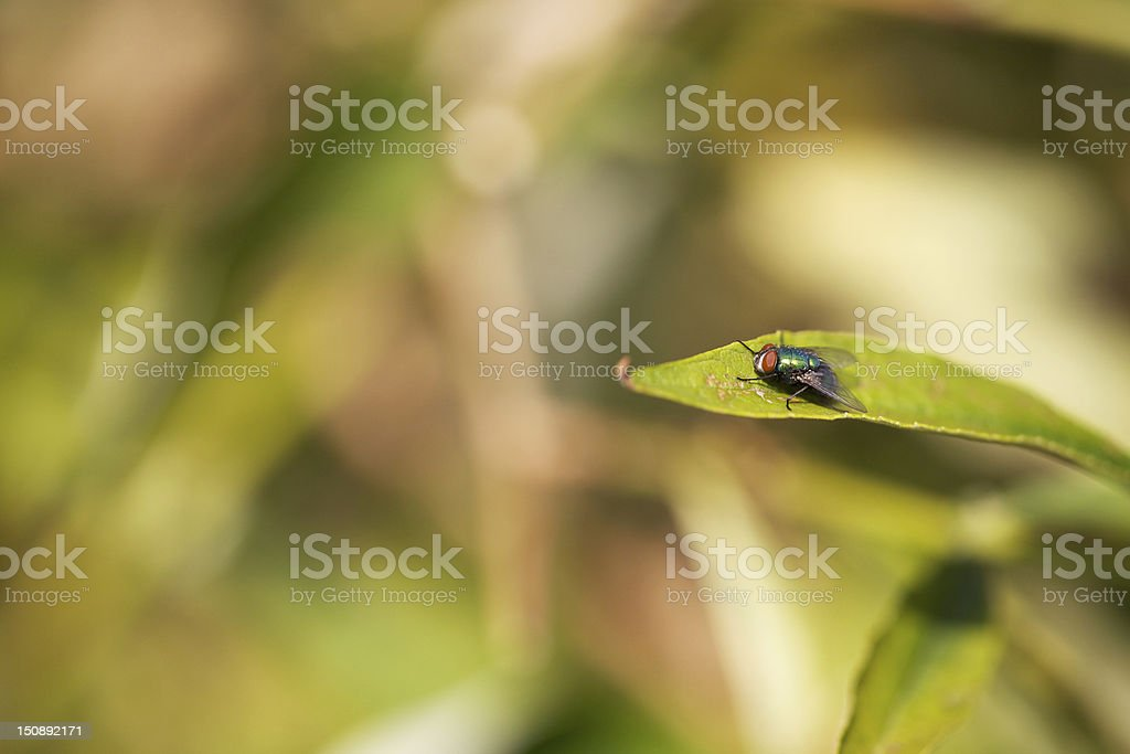 lucilia coeruleiviridis (green bottle fly) perched on a thin leaf royalty-free stock photo