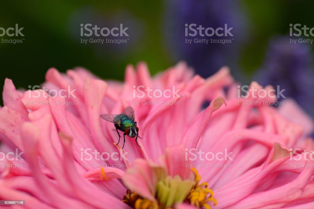 Lucilia sericata resting on top of a pink cosmos flower. stock photo