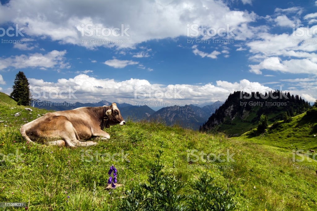 lucky alpine Kuh in Lechtaler Alpen – Foto