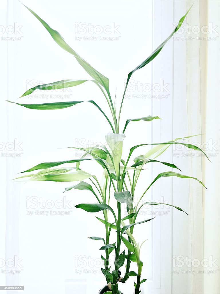 Lucky Bamboo Indoor Plant stock photo