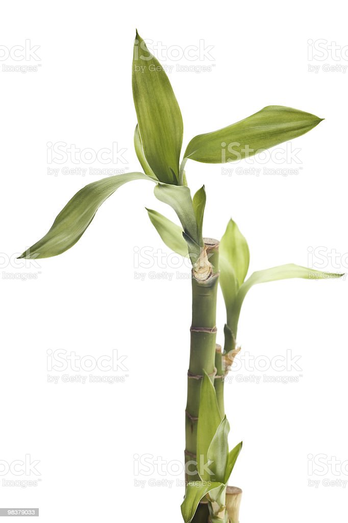 lucky bamboo isolated royalty-free stock photo