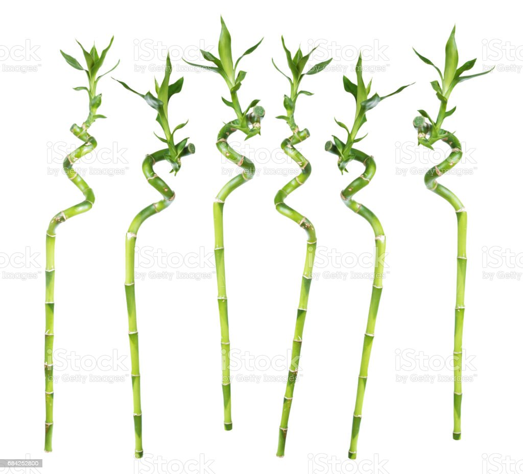Lucky Bamboo on white background royalty-free stock photo