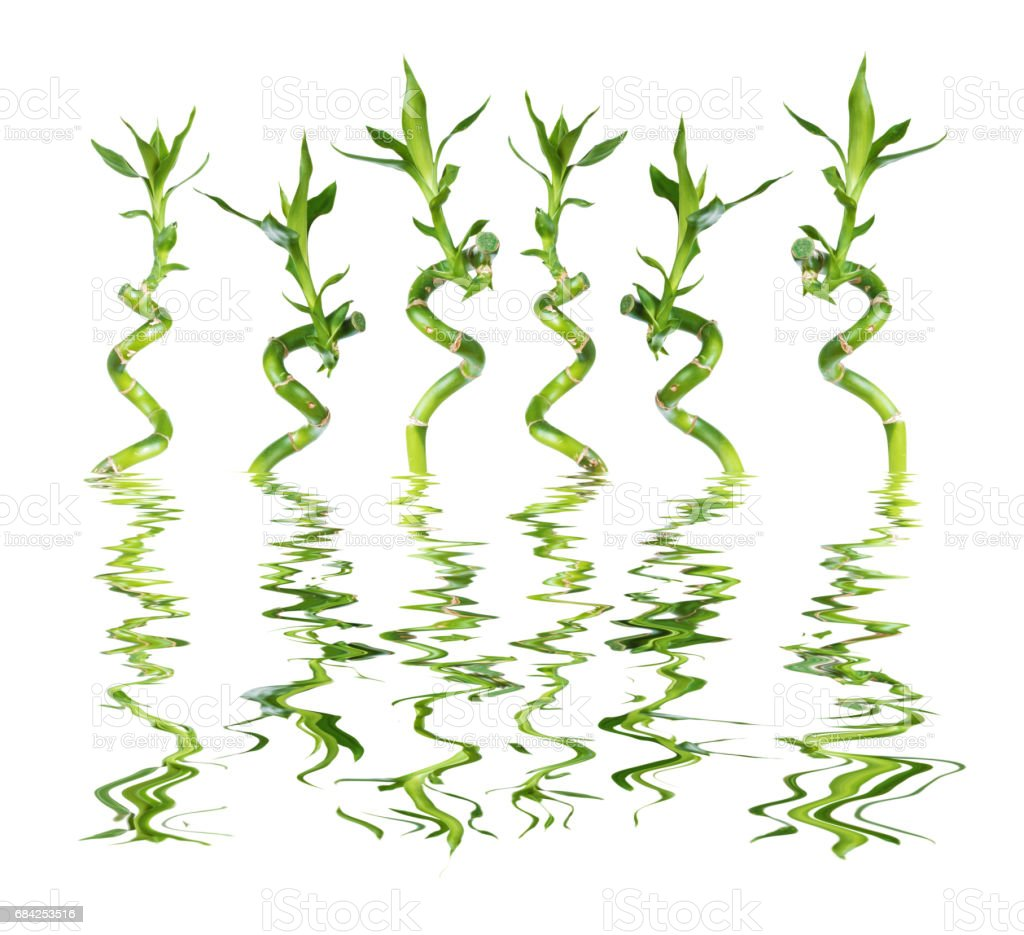 Lucky Bamboo on white background reflected in a water royalty-free stock photo