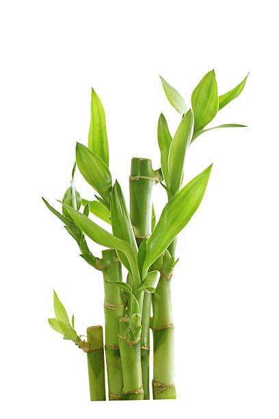 bambou porte bonheur photos et images libres de droits istock. Black Bedroom Furniture Sets. Home Design Ideas