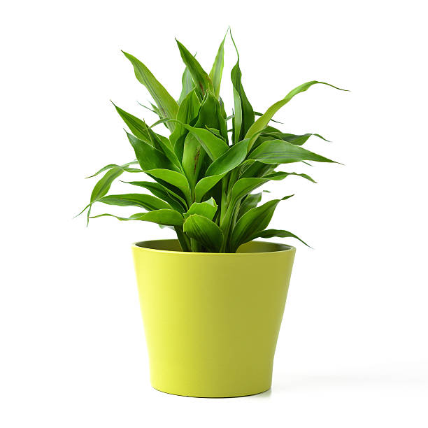 lucky bamboo - vase stock pictures, royalty-free photos & images