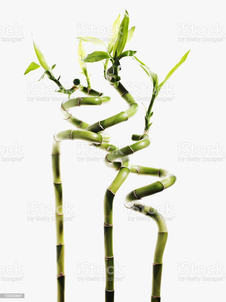 Lucky bamboo plants stock photo