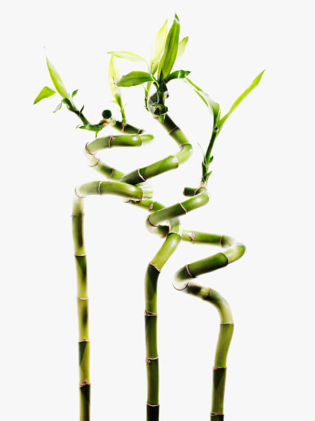 Lucky bamboo plants stock photo